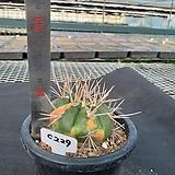 C-229. 용장환금 Gymnocalycium eurypleurum |variegated