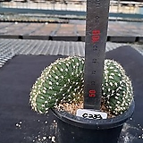 C-233. 대호환철화군생 Echinopsis Subdenudata|