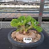 C-239. 단애의 여왕 Sinningia bullata(구근지름 9cm)|Rechsteineria leucotricha