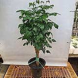 플로스토어 녹보수 외목대 특대품|Sedum dendroideum