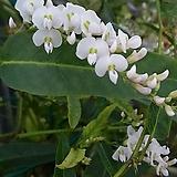 흰색싸리꽃/꽃망울이있어요/중품|