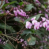 분홍싸리꽃/중품/꽃망울이있어요|