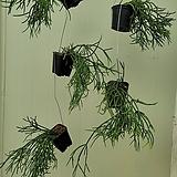 립살리스 핑크 걸이분 수입식물119|
