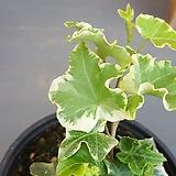 프릴아이비 (잎장이 너무이쁜아이)|Frill