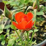 찔레 (주홍색)|