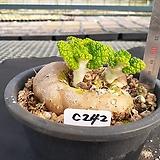 C-242. 단애의 여왕 Sinningia bullata(구근지름 10cm) |Rechsteineria leucotricha