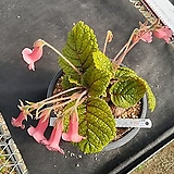 C-257.  신품종(pink) 단애의 여왕(구근지름 11cm) |Rechsteineria leucotricha