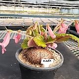 C-262.  신품종(pink) 단애의 여왕(구근지름 10cm) |Rechsteineria leucotricha