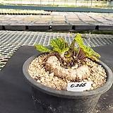 C-266.  신품종(pink) 단애의 여왕(구근지름 7cm) |Rechsteineria leucotricha