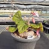 C-269.  신품종(pink) 단애의 여왕(구근지름 10cm) |Rechsteineria leucotricha