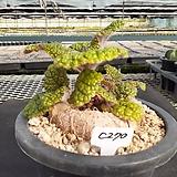C-270.  신품종(pink) 단애의 여왕(구근지름 11cm) |Rechsteineria leucotricha