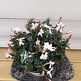 [용플라워] 하얀꽃을 피우고 향기좋은 차이니스자스민|