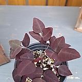 [고급식물] 나비단풍|