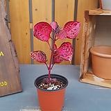 홍등화 (잎색상이 매력적인아이)|