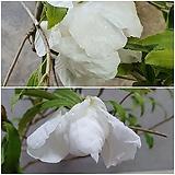 1905. 버들잎 무늬 동백 (녹복륜) - 백화, 개화주, 청송분 완성품|