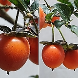 일세 노아시 (마리아) - 대품, 소엽종, 열매 잘 달리는 상품|Echeveria agavoides Maria