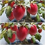 일세 노아시 (중대실 빨강열매) - 대품, 결실주|