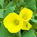 노랑사랑초|