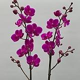 호접란 만천홍쌍대|