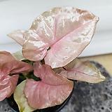 [용플라워] 집에서 키우기 쉬운식물 싱고니움(핑키)핑크|Echeveria cv Pinky