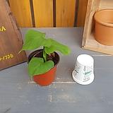 [고급식물] 필로덴드론페루|