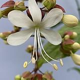 나비시다래/꽃대2대(단품)|