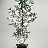 가는잎 아카시아 / 동일품배송/ 높이 160 너비 75 
