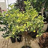 [용플라워] 대박상품 희귀종 무늬유주나무(칼라)특대품 높이150|
