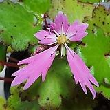 대문자초 - 02, 분홍 넓은 리본 꽃, 촉수 많은 상품|