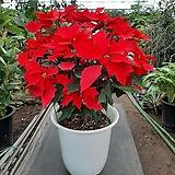 포인세티아/크리스마스꽃/대품/높이72센치|Echeveria Agavoides Christmas