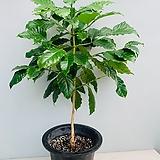 커피나무 대품/ 동일품배송/ 높이 90 너비 55 