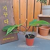 [고급식물] 필로덴드론 브리티시페티올|