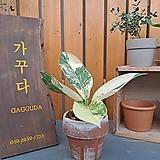 [고급식물] 디펜바키아 윌슨|