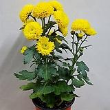 폼폼국화(노랑)/노지월동|