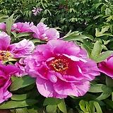 분홍 목단(모란)-1주|Echeveria cv Beniothine