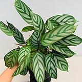 칼라데아 세토사 Echeveria setosa v. minor