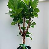 떡갈고무나무 특대품/ 동일품배송/ 높이 160 너비 85 
