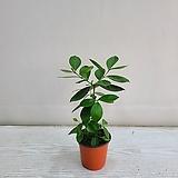 구아바/공기정화식물/온누리 꽃농원|
