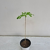 황칠나무/공기정화식물/온누리 꽃농원|