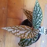 베고니아다이아몬드루브라445-65 Echeveria agavoides Rubra