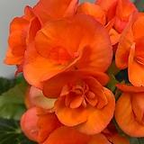 장미베고니아 주황색(단품)|