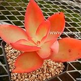 덱티리페라 (원종) (Echeveria dactylifera,  original species) 