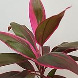 [진아플라워] 핑크빛 화려한  목질화된 아이차카 아이치아카 149|