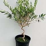 트위스트 올리브나무 특대품/ 동일품배송/ 높이 100 너비 65 