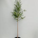 티트리나무 / 동일품배송/ 높이 145 너비 50 