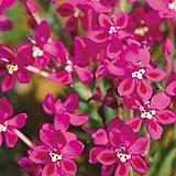 (남아프리카 구근) 라페이로지아(핑크)3구|