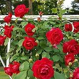장미꽃 덩굴 5묶음 빨강 - 울타리 묘목 