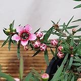 호주매화(분홍홑겹)/한목대|