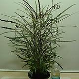 아라리오2번-실내공기정화식물-동일상품배송