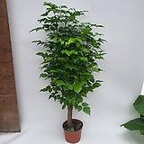 플로스토어 녹보수 외목대 특급 무료배송033|Sedum dendroideum